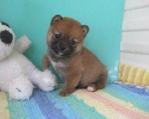 『豆柴』としての親犬同士の子犬が誕生しました