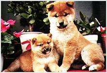 左:豆柴 右:柴犬