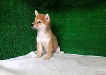 豆柴子犬6/30女の子♀売約済のサムネイル