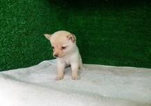 豆柴子犬6/23女の子♀2売約済のサムネイル