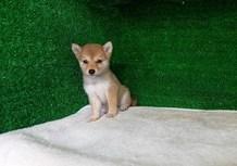 豆柴子犬6/23女の子♀1売約済のサムネイル
