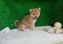 豆柴子犬6/5女の子♀a売約済のサムネイル
