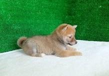 豆柴子犬4/19女の子♀1売約済のサムネイル