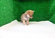 豆柴子犬3/11女の子♀A2売約済のサムネイル