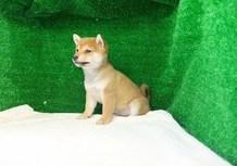 豆柴子犬3/11女の子♀A1売約済のサムネイル