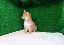 豆柴子犬3/8女の子♀売約済のサムネイル