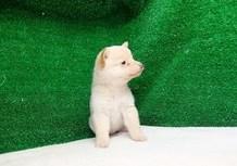 豆柴子犬3/6女の子♀2売約済のサムネイル