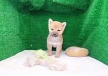 豆柴子犬3/3女の子♀売約済のサムネイル