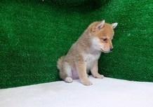 豆柴子犬2/17男の子A1売約済のサムネイル