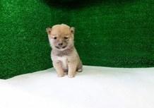 豆柴子犬2/9女の子♀3売約済のサムネイル