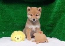 豆柴子犬3/8男の子♂売約済のサムネイル