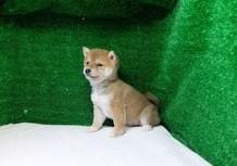 豆柴子犬2/8女の子♀売約済のサムネイル