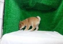 豆柴子犬3/7女の子♀2売約済のサムネイル