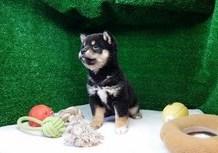 豆柴子犬1/7女の子♀売約済のサムネイル