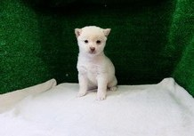 豆柴子犬12/31女の子♀売約済のサムネイル