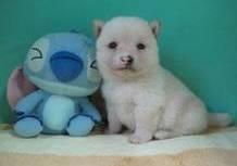 豆柴子犬2012年10月18日のサムネイル