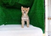 豆柴子犬4/8女の子♀1売約済のサムネイル