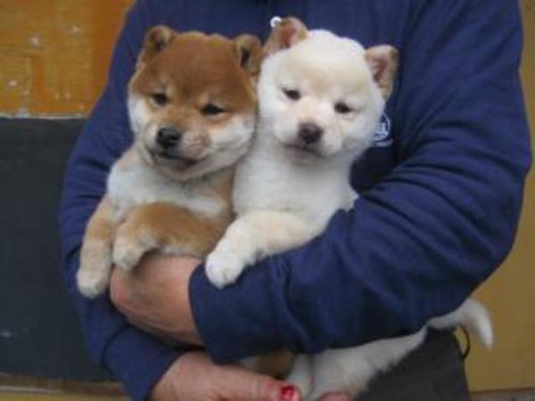 遂に!『豆柴』としての親犬同士の子犬が誕生しました!!!
