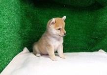 豆柴子犬7/23 男の子♂c1売約済のサムネイル