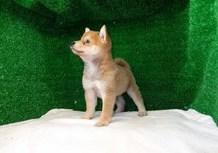 豆柴子犬7/8 女の子♀ 売約済のサムネイル