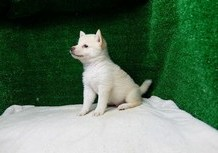 豆柴子犬6/27 男の子♂ 売約済のサムネイル