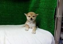 豆柴子犬6/27 女の子♀ 売約済のサムネイル
