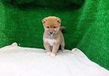 豆柴子犬1/13女の子♀2 売約済のサムネイル