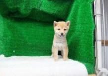 豆柴子犬1/16女の子♀売約済のサムネイル