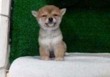 豆柴子犬12/24女の子♀売約済のサムネイル