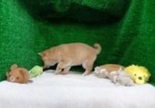 豆柴子犬10/27女の子♀2売約済のサムネイル
