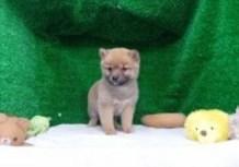 豆柴子犬10/27男の子♂売約済のサムネイル