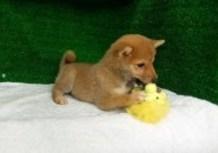 豆柴子犬4/26女の子♀2売約済のサムネイル
