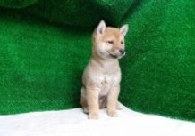 豆柴子犬9/29男の子♂a1売約済のサムネイル
