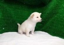 豆柴子犬9/3男の子♂2売約済のサムネイル
