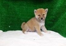豆柴子犬9/3男の子♂1売約済のサムネイル