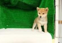豆柴子犬4/15女の子♀1売約済のサムネイル