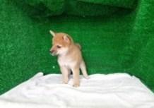 豆柴子犬8/3女の子♀1売約済のサムネイル
