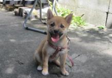 2011年8月8日 岐阜県 RAMちゃん♪生後2か月過ぎのサムネイル