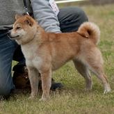 日本豆柴犬協会展覧会&豆柴宝山荘オフ会