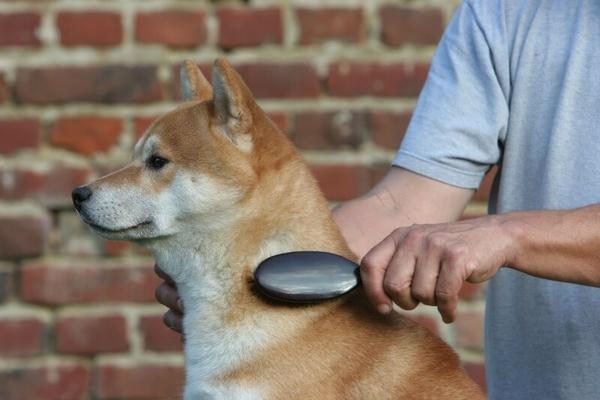 柴犬の換毛期対策 ブラッシングが毎日必要なわけ