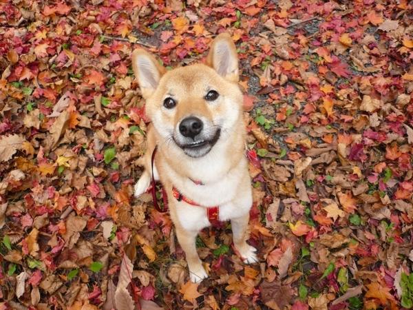 秋到来!愛犬と一緒に紅葉に行くときの注意点