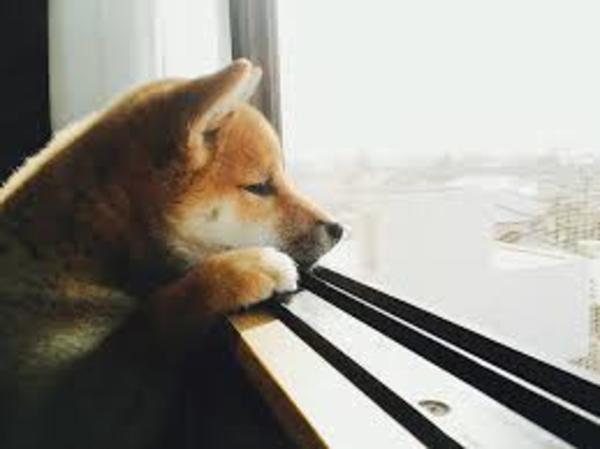 柴犬は室内飼育か外飼育なのか?