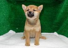 豆柴子犬3/2 女の子♀ 売約済のサムネイル