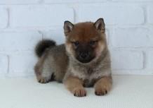 豆柴子犬10月21日 売約済のサムネイル