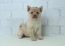 豆柴子犬10/23 女の子♀2 売約済のサムネイル