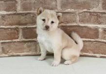 豆柴子犬2/10 女の子♀1 売約済のサムネイル