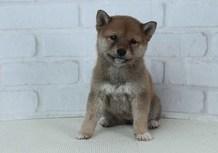 豆柴子犬2/14 女の子♀1 売約済のサムネイル