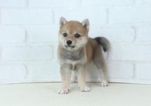 豆柴子犬 6/25 女の子♀1 売約済のサムネイル