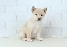 豆柴子犬 6/25 女の子♀2 売約済のサムネイル