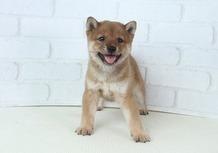 豆柴子犬 7/10 男の子♂ 売約済のサムネイル